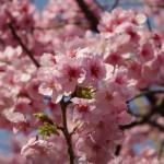 桜の女王と呼ばれる陽光桜は既に満開!