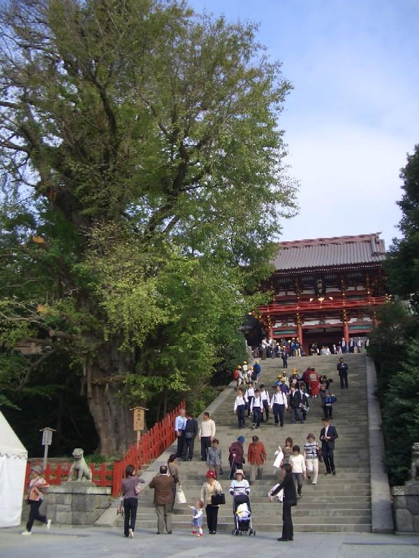 鎌倉 鶴岡八幡宮在りし日の大銀杏