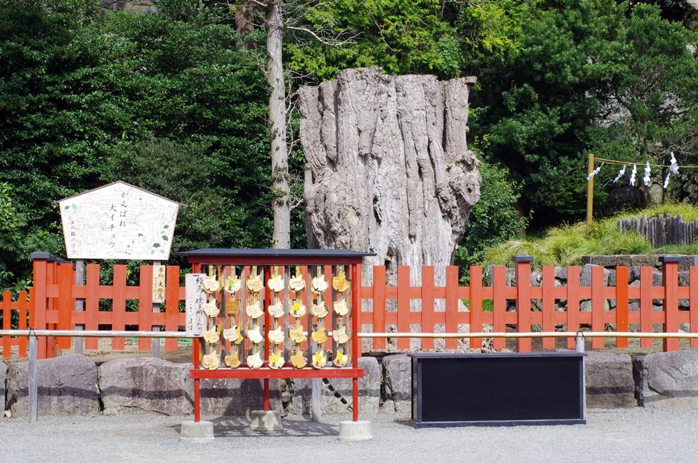 鎌倉 鶴岡八幡宮大銀杏 (3)