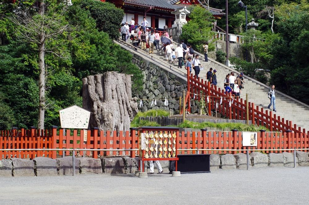 鎌倉 鶴岡八幡宮大銀杏 (4)