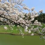 夜桜もいいけど千鳥ヶ淵の桜はやっぱりお陽様の下がいい?お花見ベストショット20枚。