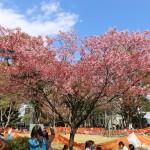 上野公園の陽光桜に感謝の気持ちを。