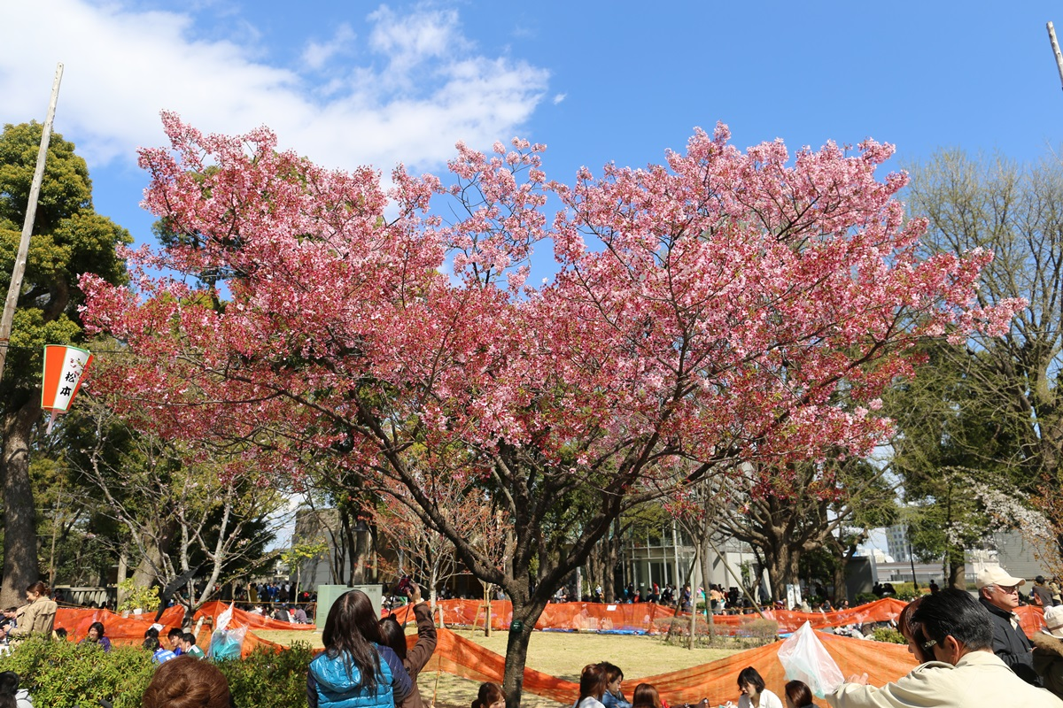 上野公園 陽光桜 (1)
