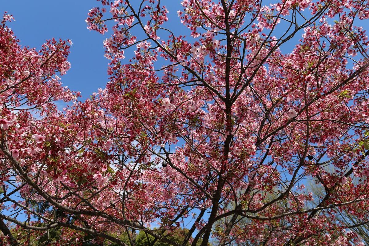 上野公園 陽光桜 (2)