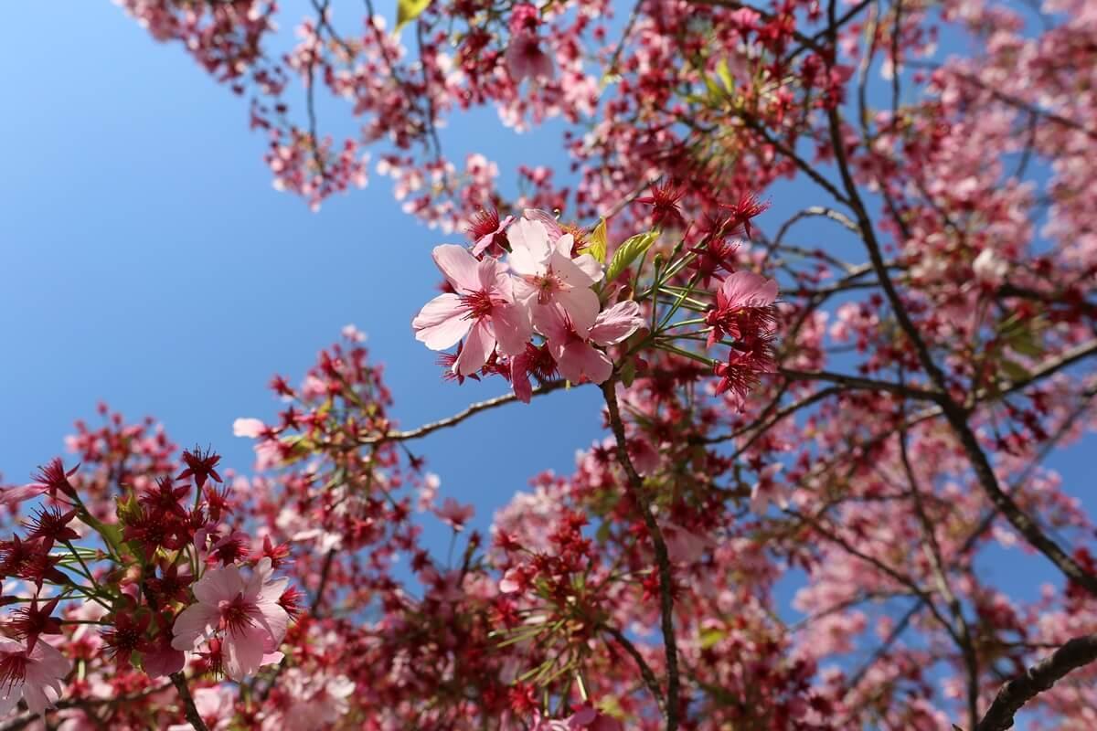 上野公園 陽光桜 (3)