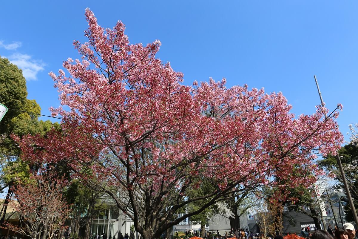 上野公園 陽光桜 (4)