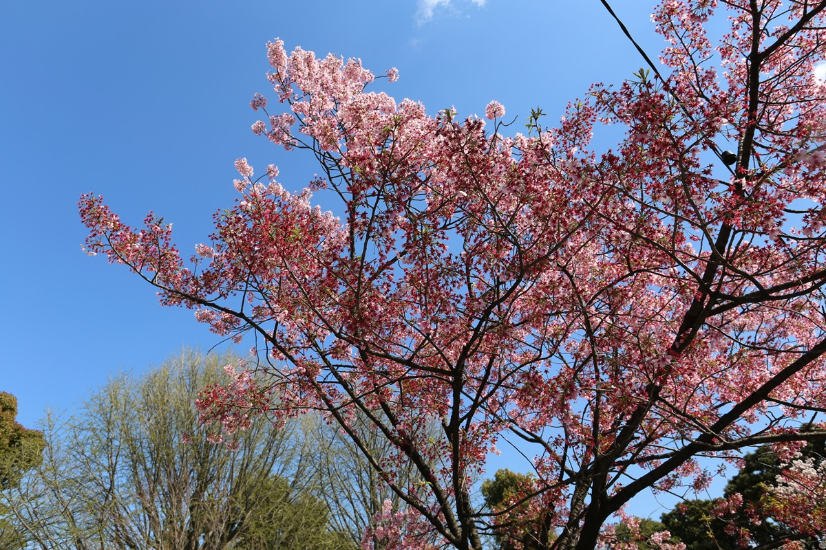 上野公園 陽光桜 (5)
