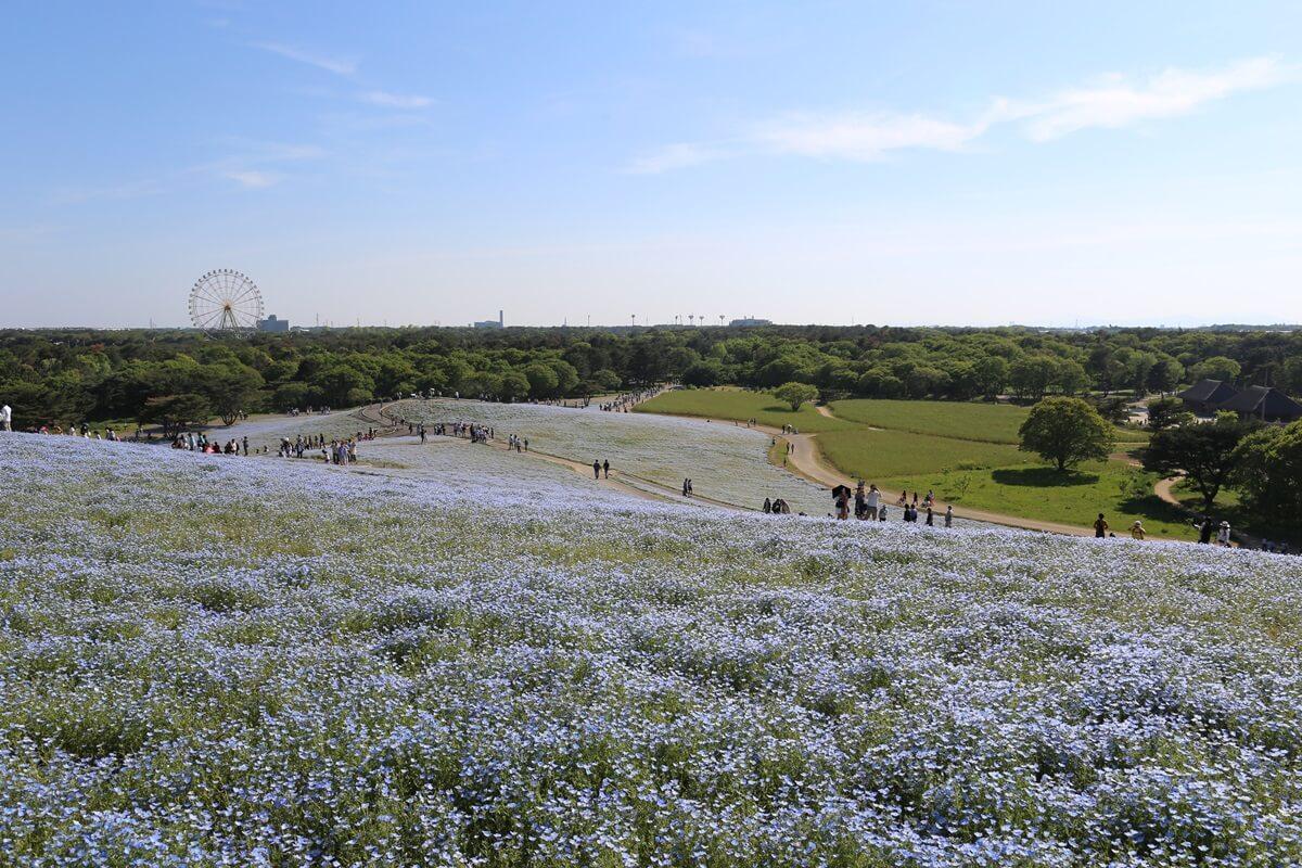 ネモフィラ咲く国営ひたち海浜公園 (12)