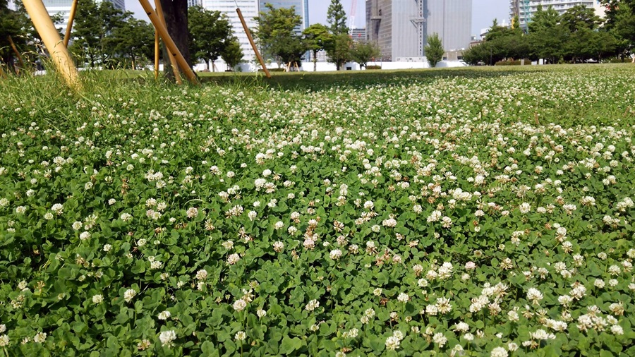 豊洲公園 三つ葉のクローバー (1)