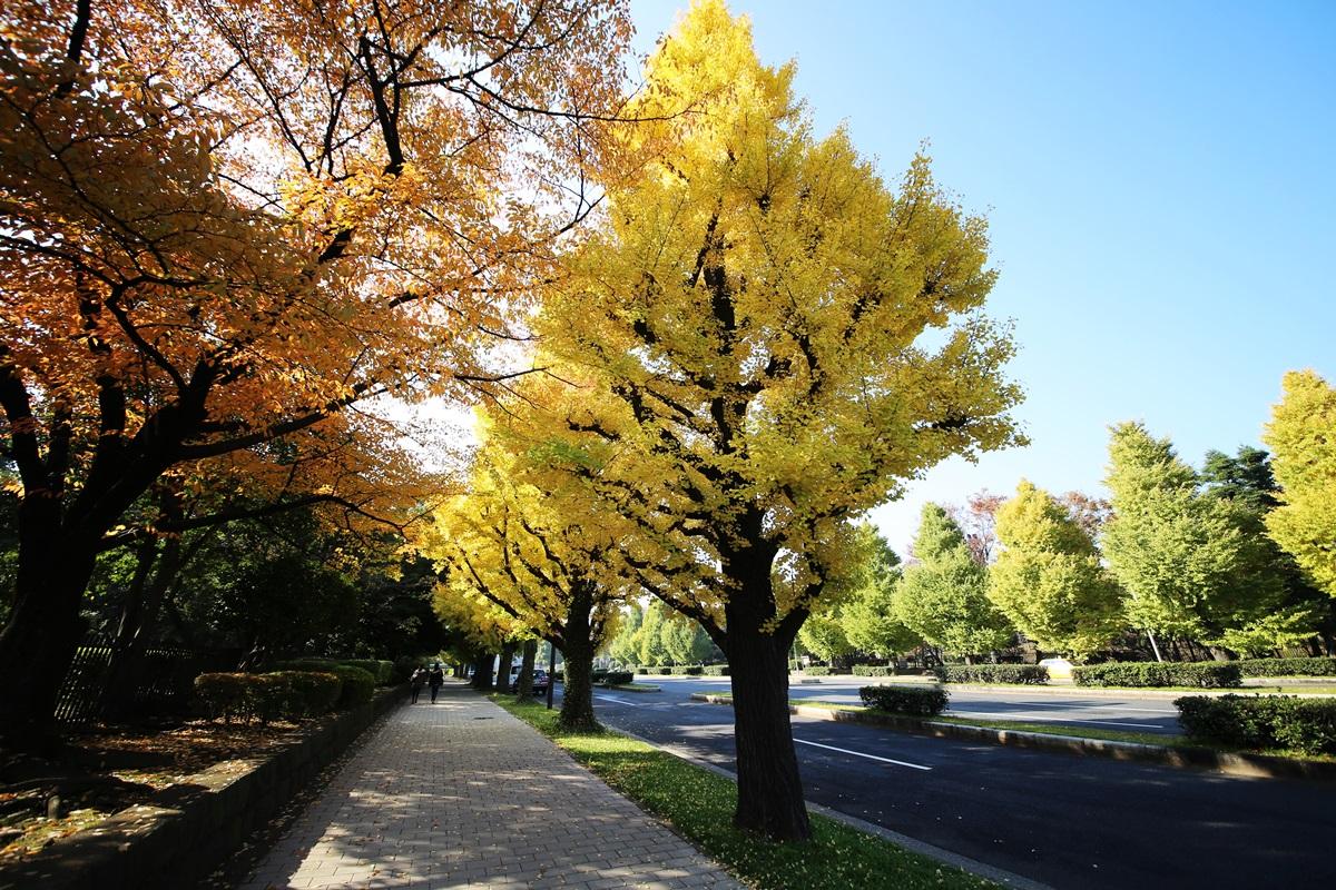 国会議事堂前の銀杏並木 lined gingko biloba trees in front of the Diet Building (1)
