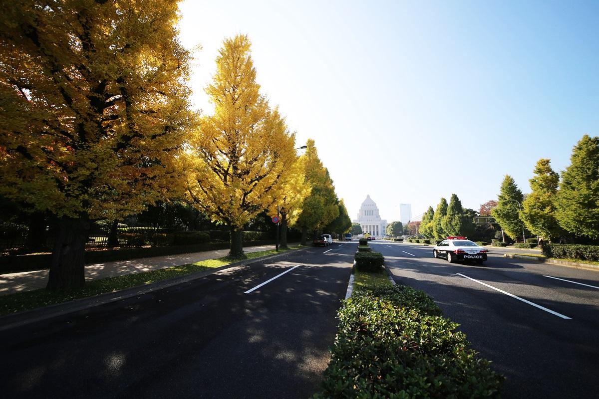 国会議事堂前の銀杏並木 lined gingko biloba trees in front of the Diet Building (2)