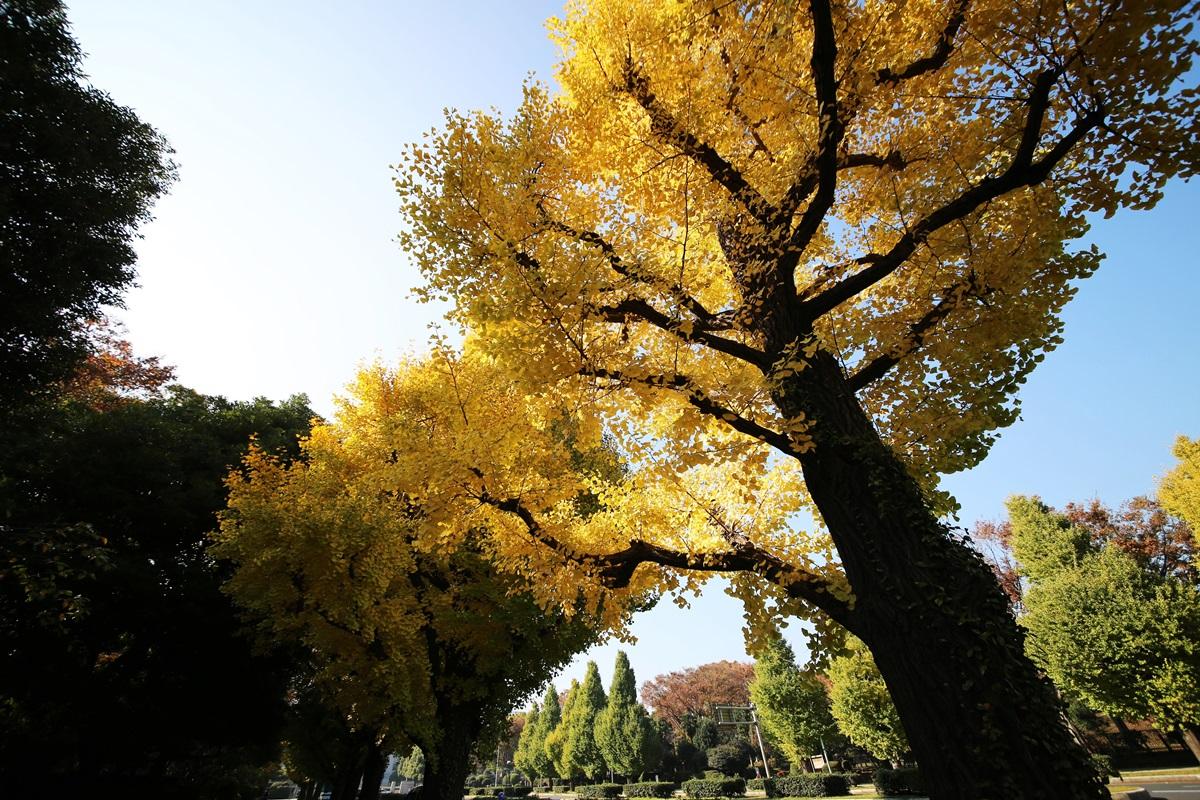 国会議事堂前の銀杏並木 lined gingko biloba trees in front of the Diet Building (3)