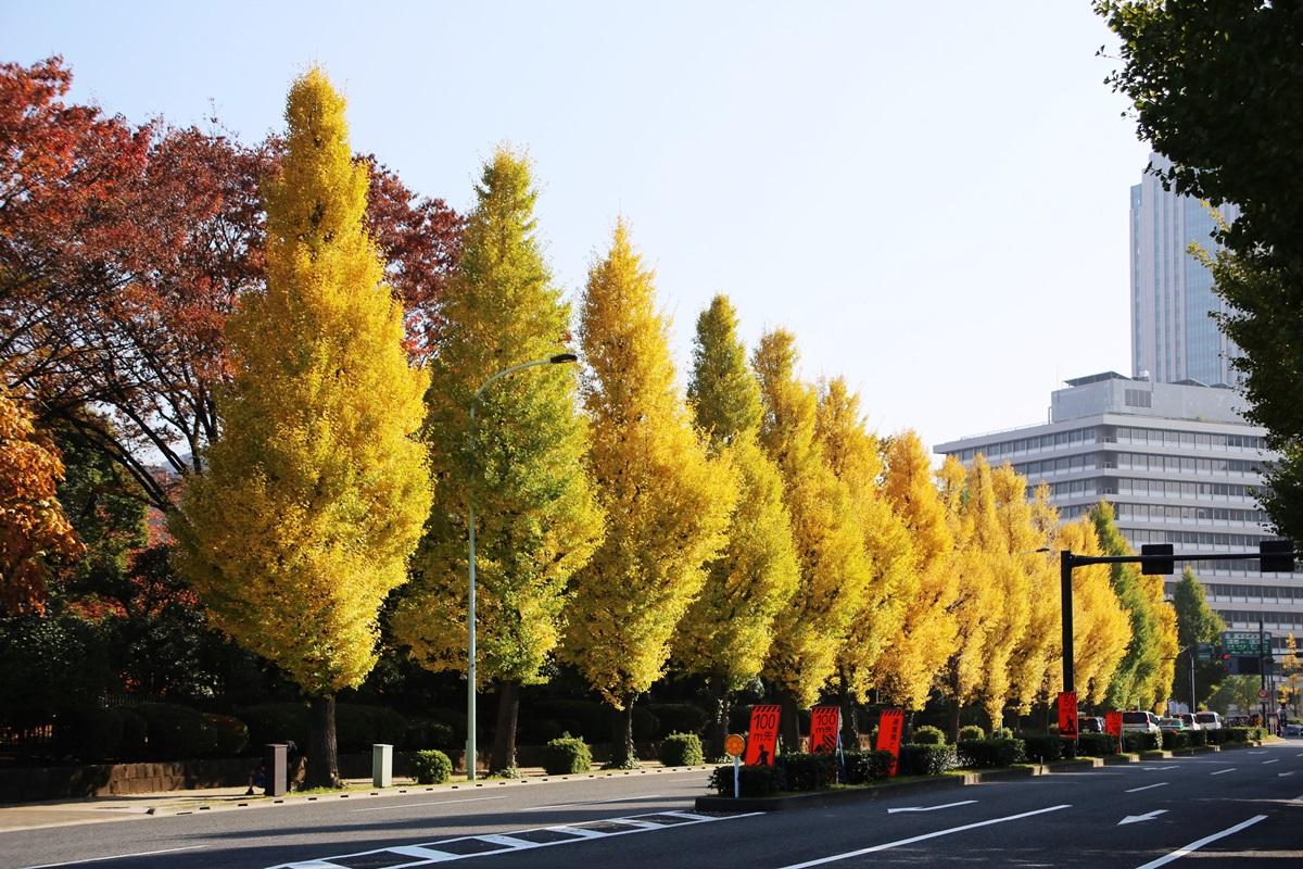 国会議事堂前の銀杏並木 lined gingko biloba trees in front of the Diet Building (4)