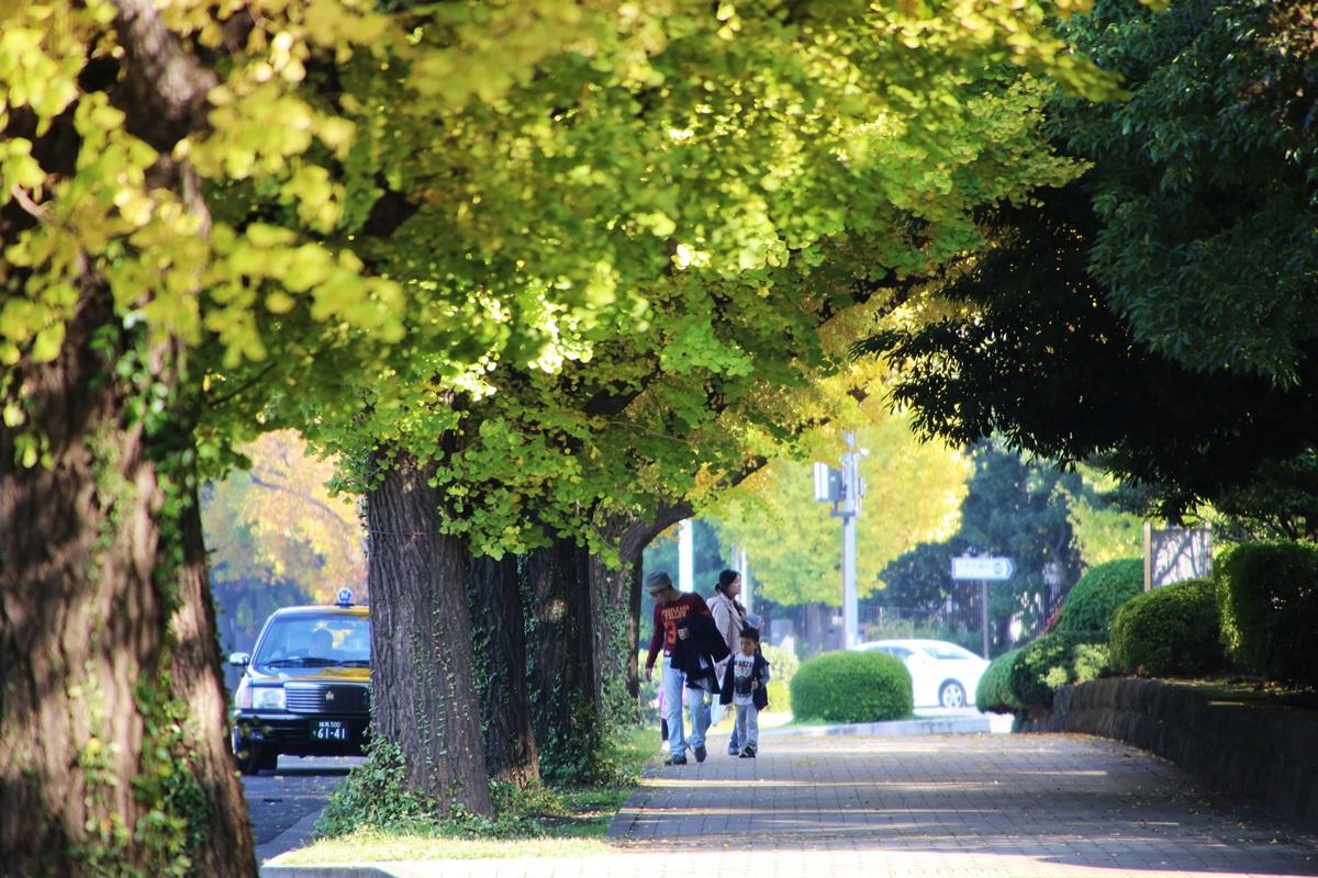 国会議事堂前の銀杏並木 lined gingko biloba trees in front of the Diet Building (7)