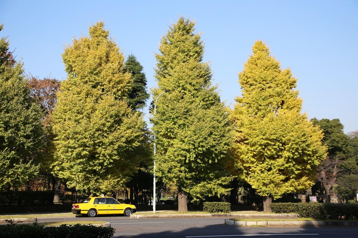 国会議事堂前の銀杏並木 lined gingko biloba trees in front of the Diet Building (8)