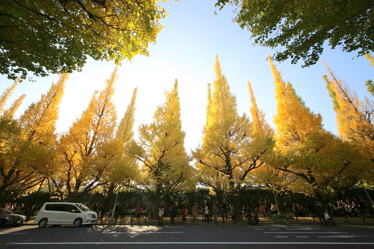 外苑 銀杏並木 gaien_ichonamiki (5)