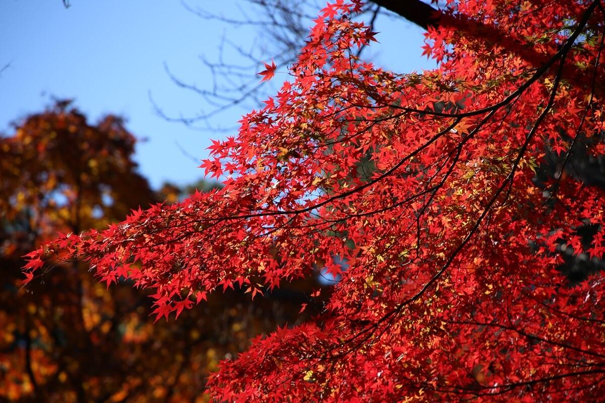 旧江戸城跡地の紅葉 kokyo_koyo (18)