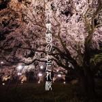 六義園のしだれ桜。