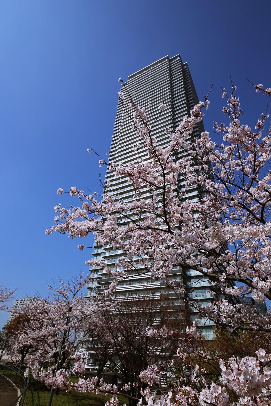 辰巳桜橋の桜 tasumisakurabashi (2)