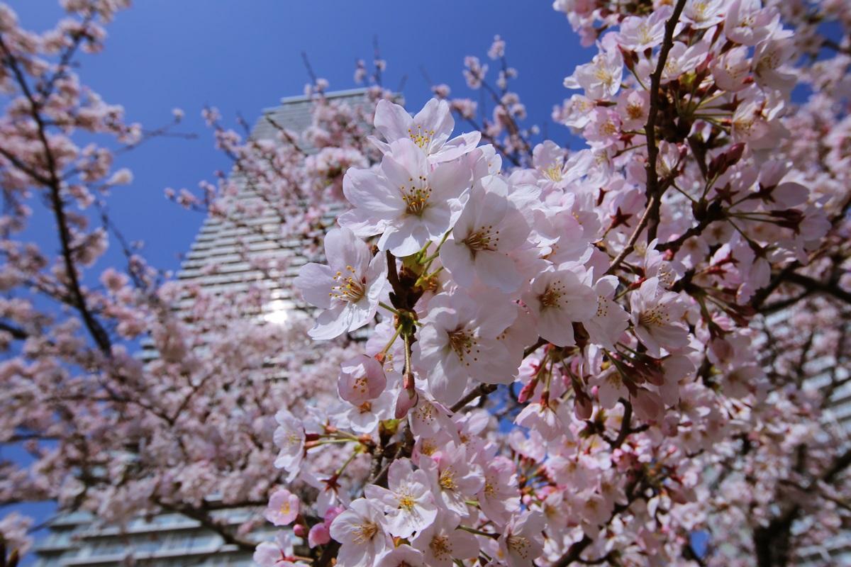 辰巳桜橋の桜 tasumisakurabashi (4)