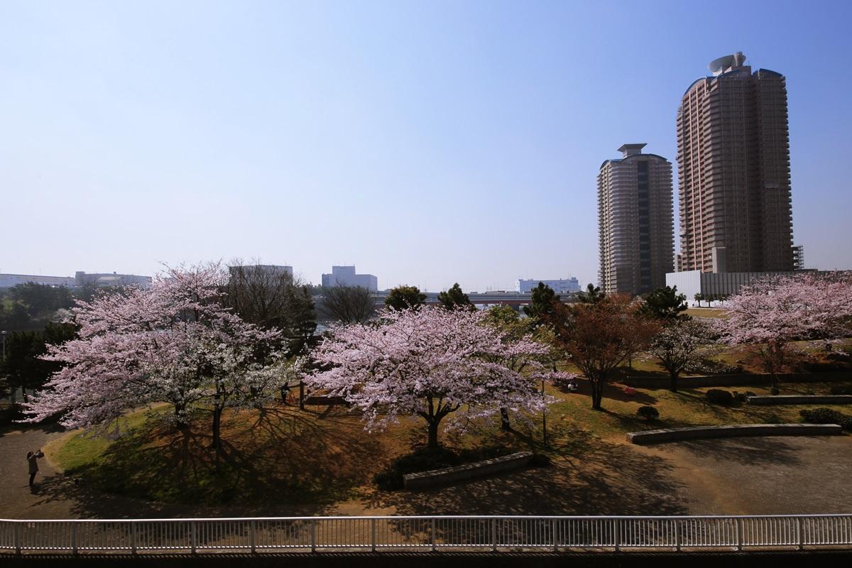 辰巳桜橋の桜 tasumisakurabashi (5)