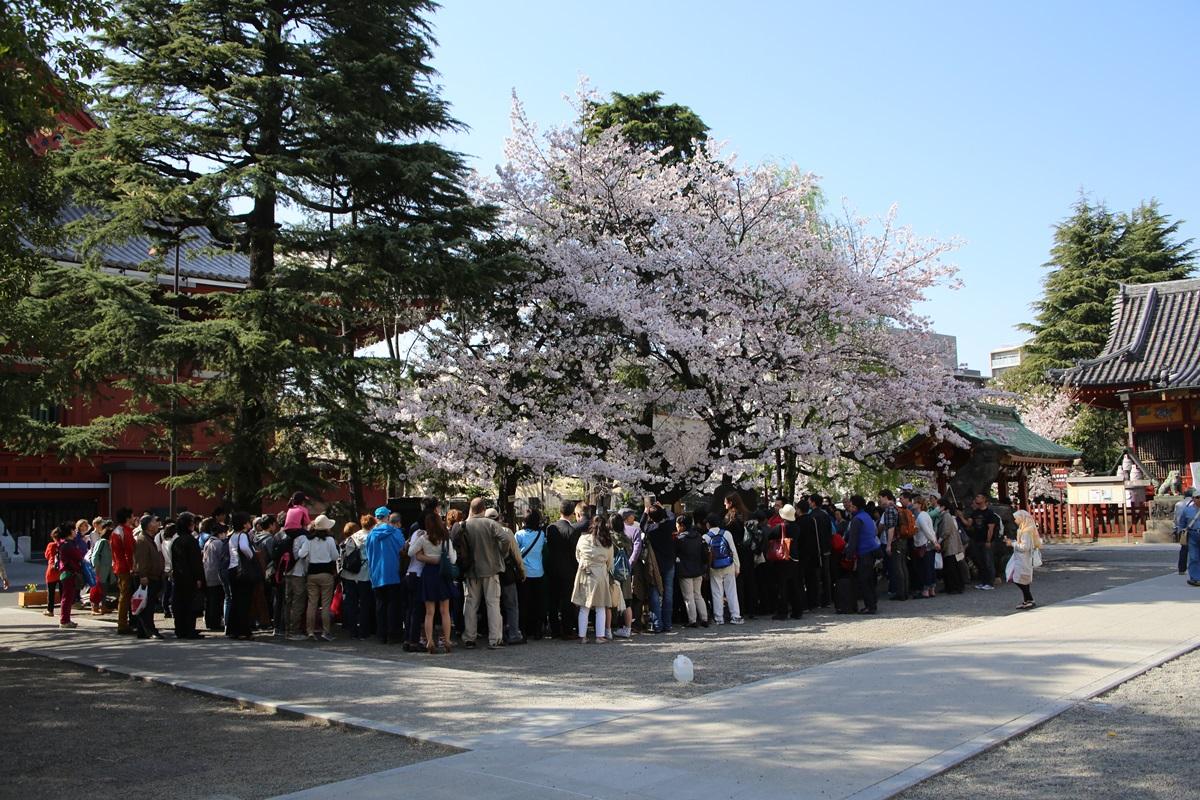 asakusa_sakura 浅草神社 桜
