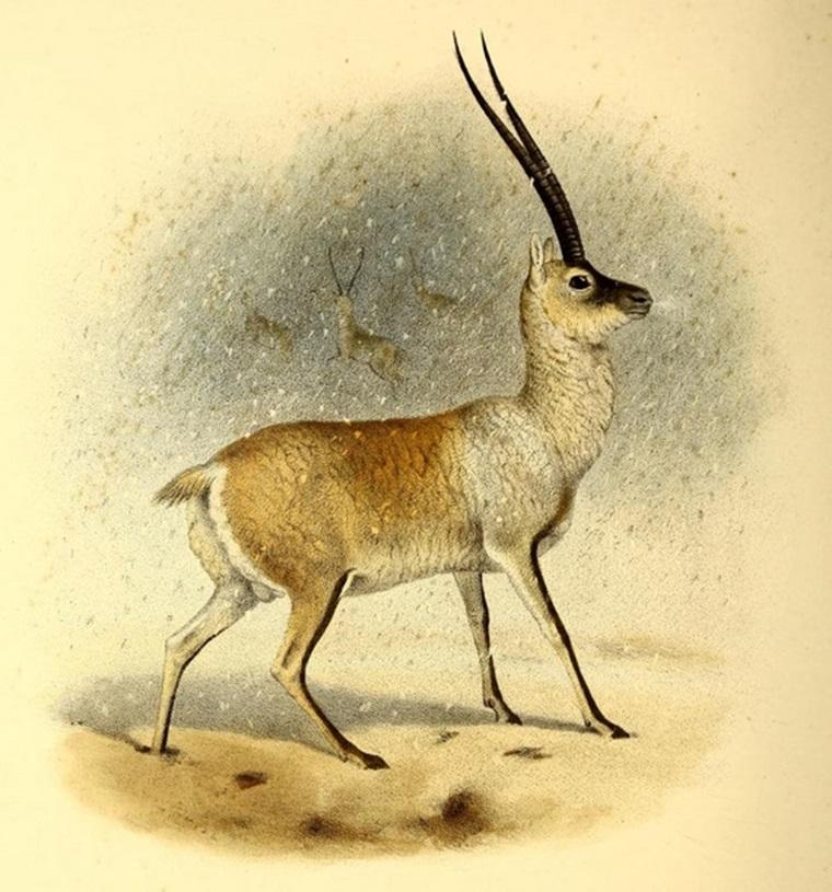シャトゥーシャ チルー チベットアンテロープ antelopes_Pantholops_hodgsoni