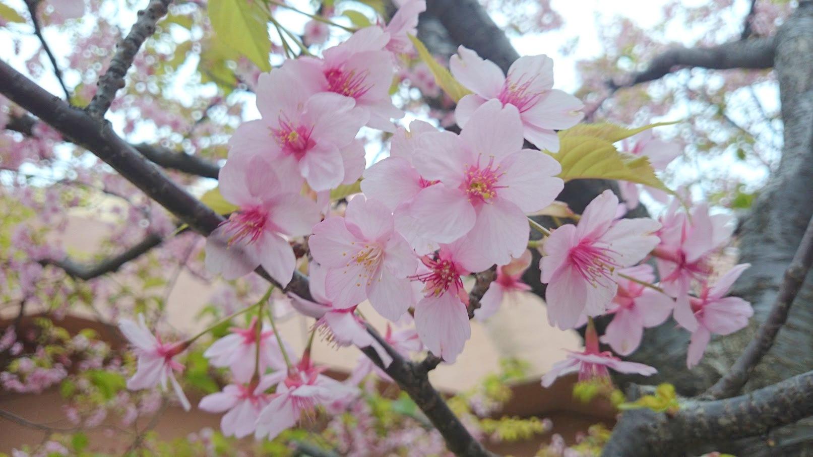 河津桜 お台場 2016SSkawaduzakura (2)