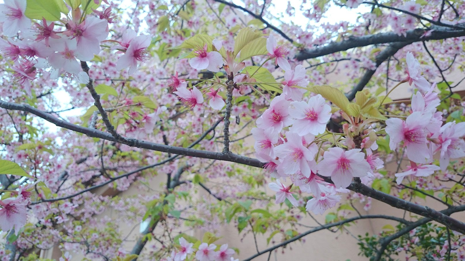 河津桜 お台場 2016SSkawaduzakura (3)