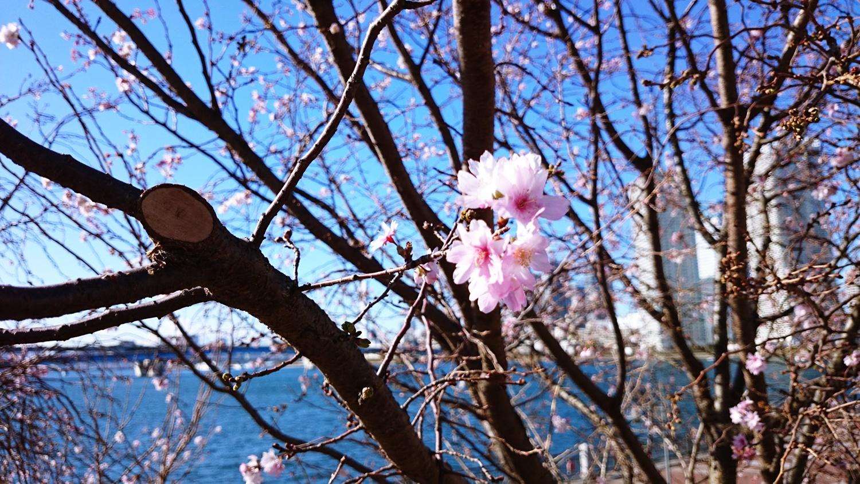 toyosu-10  湾岸エリア 豊洲 冬桜