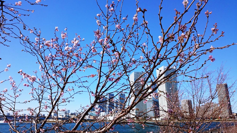 toyosu-12  湾岸エリア 豊洲 冬桜