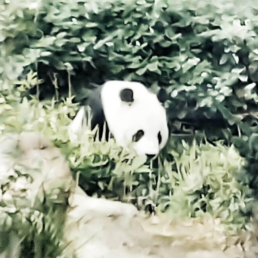 上野動物園 パンダ リーリー シンシン