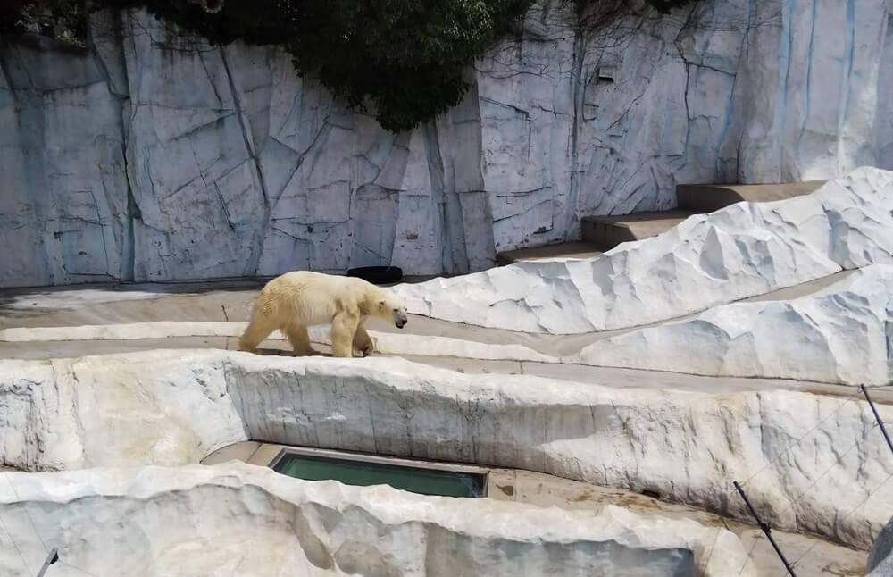 上野動物園 シロクマ
