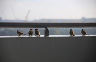 防鳥 ベランダ 鳩 雀 最強の鳥フン対策。torifuntaisaku (2) テグス